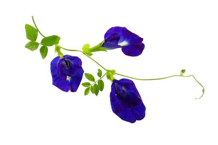 Close up Butterfly blue pea flowers on white background. Full depth of field