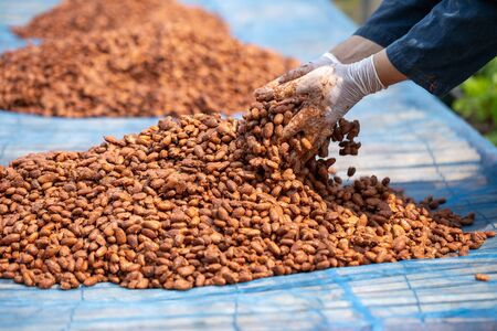 Cocoa beans, or cacao beans being dried on a drying platform after being fermented.