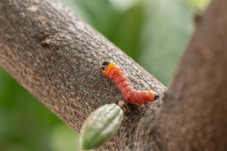 cocoa stem borer. Diseases and pests affecting cocoa plants. Selective focus.