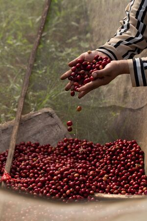 Coffee farmer picking ripe robusta coffee berries for harvesting.