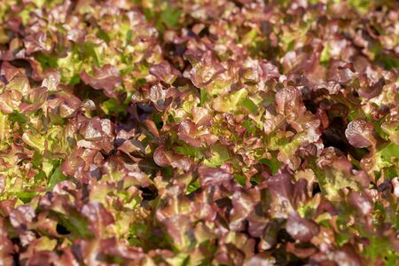 Fresh Red Oak lettuce leaves, Salads vegetable in the agricultural hydroponics farm.
