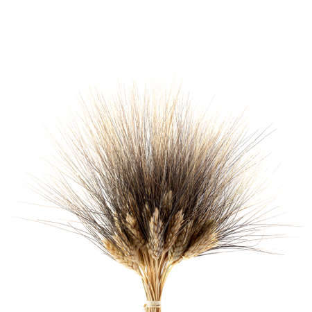 Kamut Khorasan Wheat isolated on a white background. Stock fotó