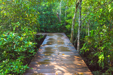klong: wooden path way in forest at Thapom, Klong Song Nam, Krabi, Thailand
