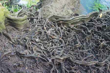 big tree roots in forest at Thapom, Klong Song Nam, Krabi, Thailand