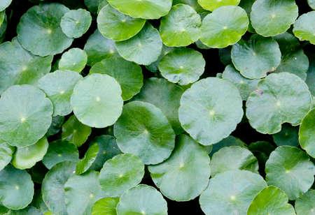 umbella: Water Penny -wort  Hydrocotyle umbellata