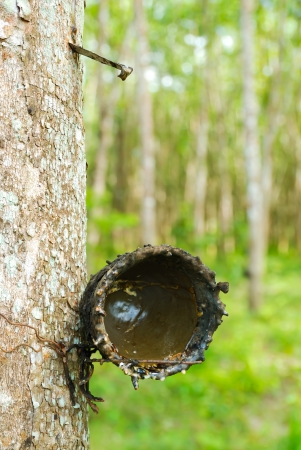 tapper: Rubber tree with wooden bowl in rubber plantation, Yan Ta Khao District, Trang Province  Thailand