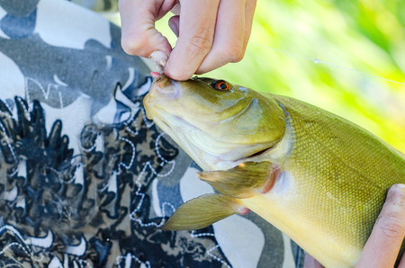 raptorial: Closeup lakes fish in the hand of fishermen