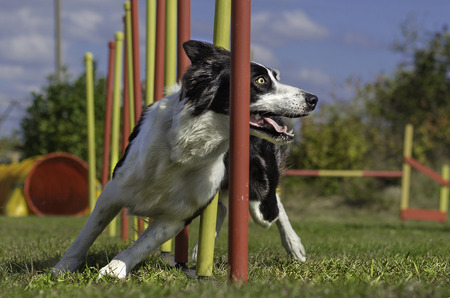 Dog agility slalom, sports competitions of dogs in the summer in the park