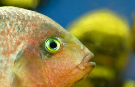 cichlid: Cichlid fish in an aquarium