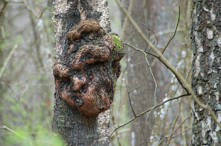 Excrescence on the tree trunk