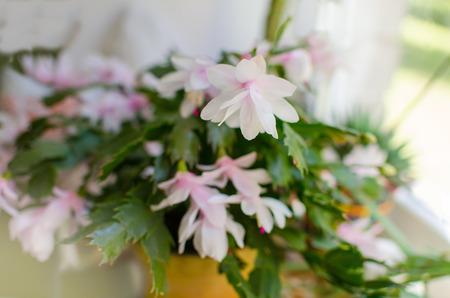 christmas cactus: Pink Christmas cactus or Holiday cactus