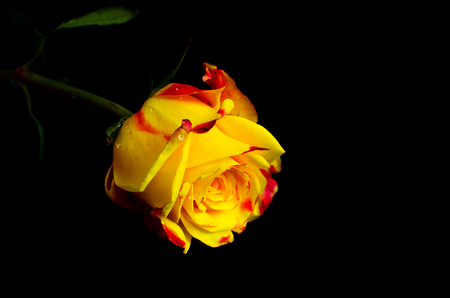 Beautiful red and yellow rose flower with a black shadow background