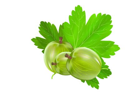 Gooseberry isolated on a white background. Sweet and sour green gooseberry with leaves. Ingredient for healthy food. Illustration for packing design, print, advertisement, posters, decoration. Vector