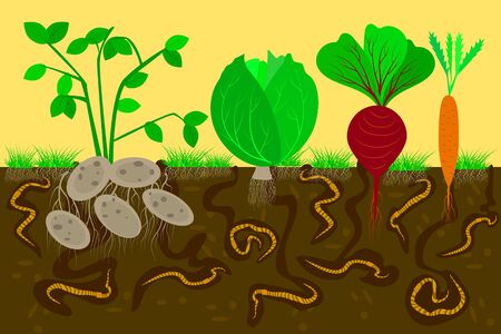 Ground cutaway with earthworms and vegetables. Air and Water Passage In the Soil Created by earthworms. Potato, cabbage, beetroot and carrot with leaves and roots in soil. Eco farm. Flat vector. Çizim