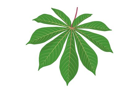 Cassava leaf isolated on white background. Green cassava leaf icon in flat style. Shape of tropical plant leaves. Tapioca. Exotic plant.