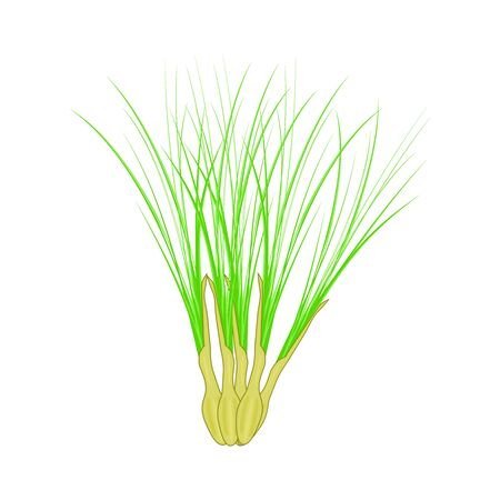 Lemongrass isolated on white background. Lemongrass, or Citronella leaves in cartoon style for cosmetics labels, natural health products, price tag, tea label, packaging design. Stock vector