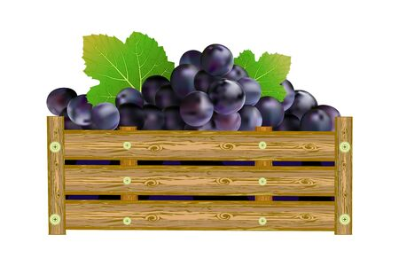 Grapes in box isolated on white background. Crate of purple grapes. Winery, winemaking, eco farm, transportation, drinks design element. For label, package, poster, banner or icon. Stock vector illustration