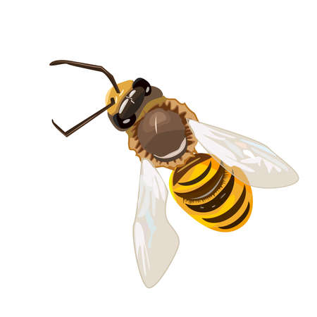 Honey bee isolated on white background. flying. Striped flying Bumblebee in top view. Insect symbol for natural, healthy and organic food production. For multimedia, entertainment, educations, shop, label, logo. Stock vector illustration