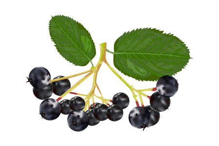 Chokeberry isolated on white background. Branch of aronia with green leaf. Black choke berry fruits. Botanical branch with berries and leaves. For tea, organic cosmetic, medicine, aromatherapy. Stock vector illustration
