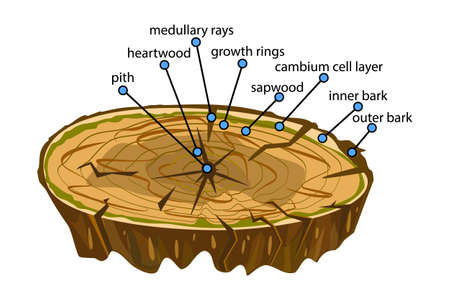 Anatomy of a tree isolated on white background. Structure of the slice of the tree layers in cross section. Tree trunk different layers scheme. Cross section of woody stems infographics. Education biology, dendrochronology poster, illustration. Stock vector