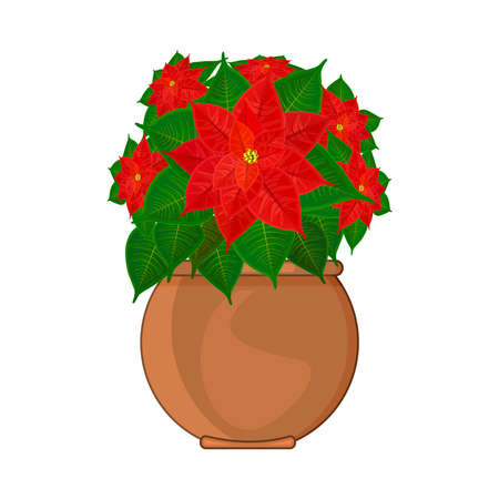 Poinsettia plant in pot isolated on white background. Christmas star traditional symbol of Christmas and New year. Bloom flower with green leaves and red petals in ceramic flowerpot. Stock vector illustration