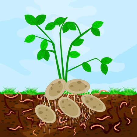 Ground cutaway with potatoes and earthworm. Earthworms in garden soil. Composting process with organic matter, microorganisms and earthworms. Organic vegetable concept. Stock vector illustration Vettoriali