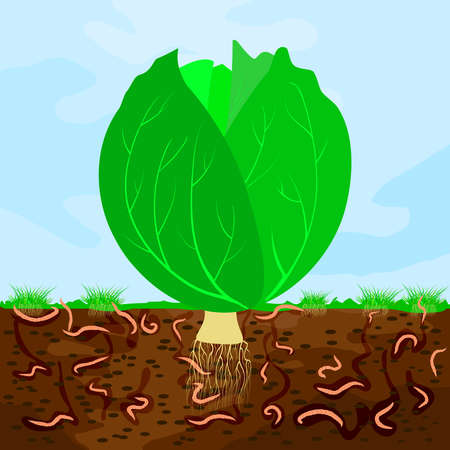 Ground cutaway with cabbage and earthworm. Earthworms in garden soil. Composting process with organic matter, microorganisms and earthworms. Organic vegetable concept. Stock vector illustration