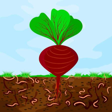 Ground cutaway with beetroot and earthworm. Earthworms in garden soil. Composting process with organic matter, microorganisms and earthworms. Organic vegetable concept. Stock vector illustration