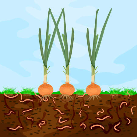 Ground cutaway with onion and earthworm. Earthworms in garden soil. Composting process with organic matter, microorganisms and earthworms. Organic vegetable concept. Stock vector illustration Vettoriali