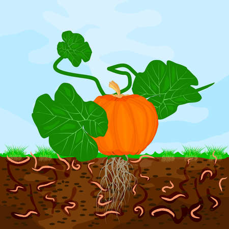 Ground cutaway with pumpkin and earthworm. Earthworms in garden soil. Composting process with organic matter, microorganisms and earthworms. Organic vegetable concept. Stock vector illustration