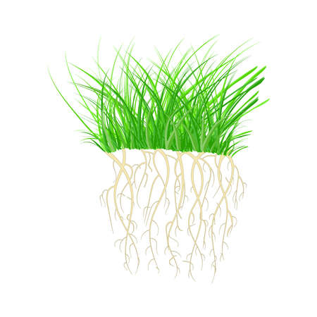 Green grass with roots isolated on white background. Tuft shape of grass. Nutritious sprouts. Rooted green organic plants. Summer raw young herb. Design element of nature. Blade wisp. Çizim