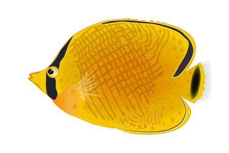 Masked butterfly fish isolated on white background. Tropical underwater aquatic creatures. Chaetodon rafflesi. Exotic yellow marine or saltwater aquarium fish. Side view. Stock vector illustration Çizim