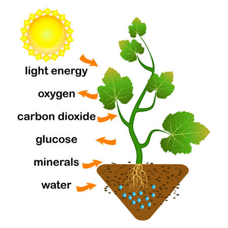 Photosynthesis diagram. Process of plant produce oxygen. Photosynthesis process labelled. science Education botany poster. Photosynthesis process poster with plant, text and arrows. Stock vector illustration