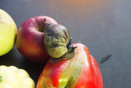 The large ahatina snail close up blue light