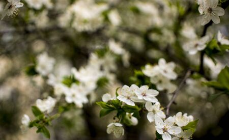 Flowers, cherry blossoms on the branches on a spring day. Beautiful spring background. Spring flowering in the garden wallpaper. Beautiful blossoming flowers of apple trees in the park. Zdjęcie Seryjne