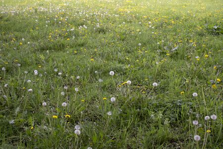 White fluffy Dandelion in grass among yellow flowers.