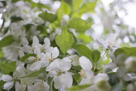 flowering branches of Apple trees in a natural environment. tenderness and light. spring beauty. the Apple tree in its glory. Soft focus Zdjęcie Seryjne
