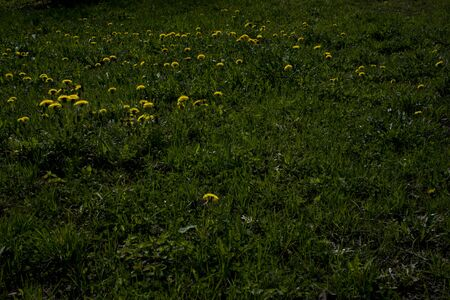 Detail of nature - ground with grass and Yellow dandelion flowers as texture or background