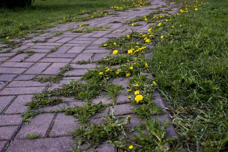 Summer landscape with S curved pink paved road through yellow dandelion field. Bright summer feeling in rural road. Wild flowers blooming