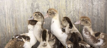 Ducklings in a home farm. Close up of duckling