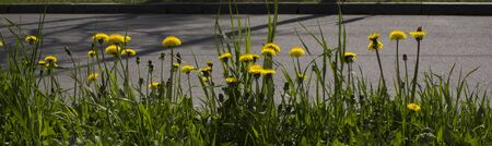 Yellow flower of a dandelion plant Taraxacum officinale aka ordinary dandelion grows on a ground. The pursuit of life.