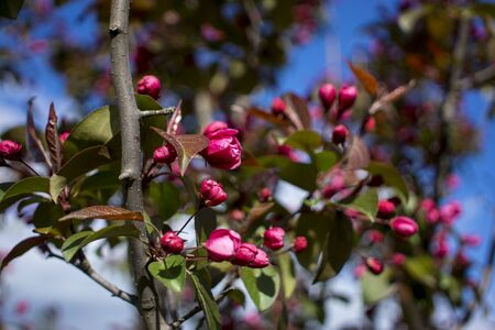 Abundance of pink blossoms densely covering apple tree branches of the background of the blue sky and green leafy trees.Apple tree flowering in a botanical garden.