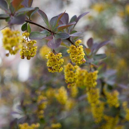 Flowering Thunbergs barberry or Berberis thunbergii. Cultivar with red leaves and yellow flowers Zdjęcie Seryjne