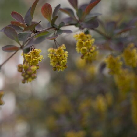 Flowering Thunbergs barberry or Berberis thunbergii. Cultivar with red leaves and yellow flowers 写真素材