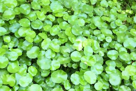 Centella asiatica  Linn   Urban