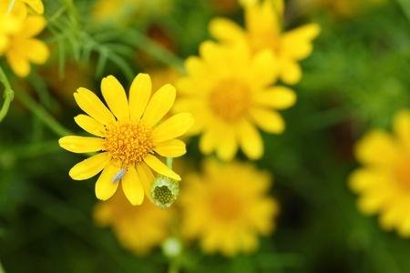 Little yellow Thymophylla Tenuiloba Dahlberg Daisy