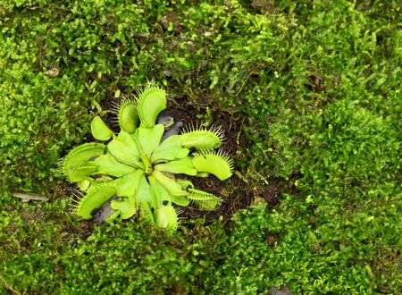 Green Dionaea muscipula , known as flytrap, in closeup, isolated on nature background  photo