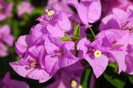 Bougainvillea hybrida in close up photo