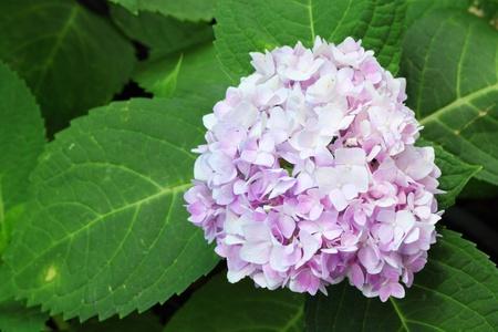 Violet  Hortensia  in Thailand photo