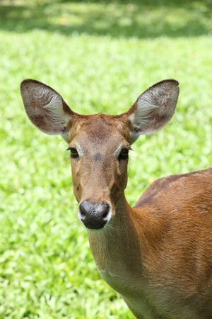Eld s Deer  photo